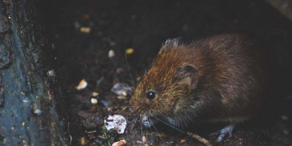 go pest bendigo pest control rodents