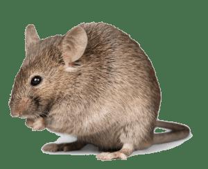 Go Pest rodent control