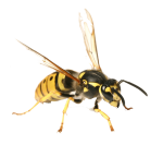 bee control services bendigo