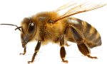 bee removal services Bendigo